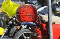 イタリア2大都市にハチの大群.jpg