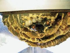 ガラス越しに巣作りするハチ.jpg
