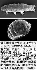 クマムシ.jpg