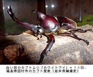 白い眼のカブトムシ.jpg